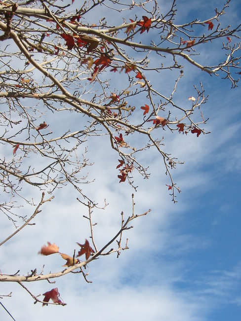 Leaves against an early winter sky