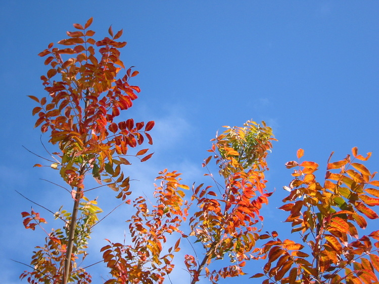Deep orange leaves on a blue sky