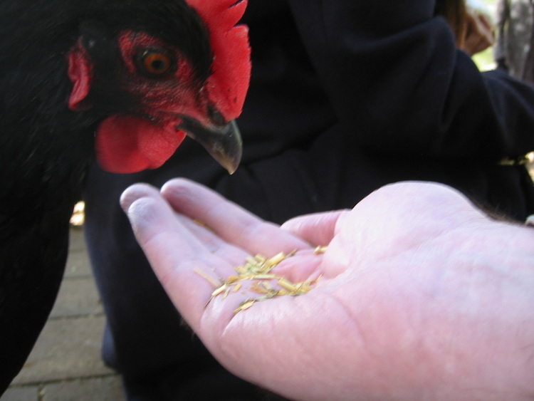A chook eats from my hand