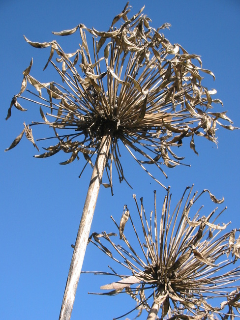 gapanthus Seed-heads against blue sky