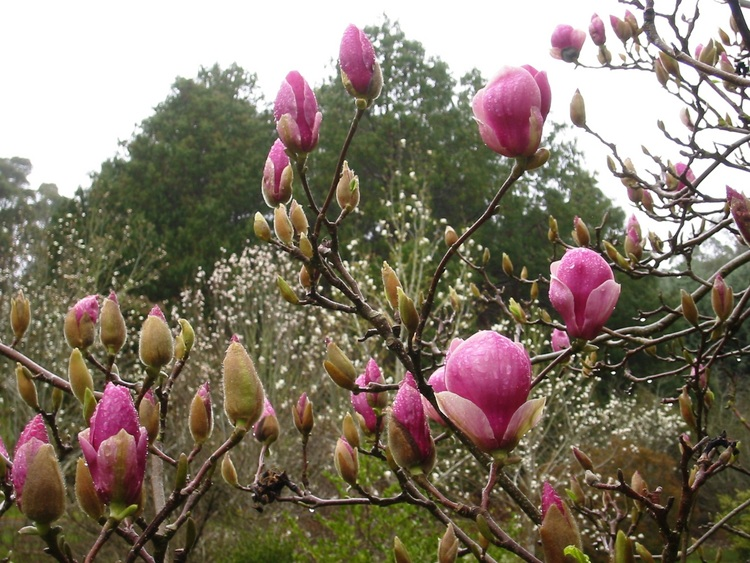 Magenta coloured Magnolia flowers