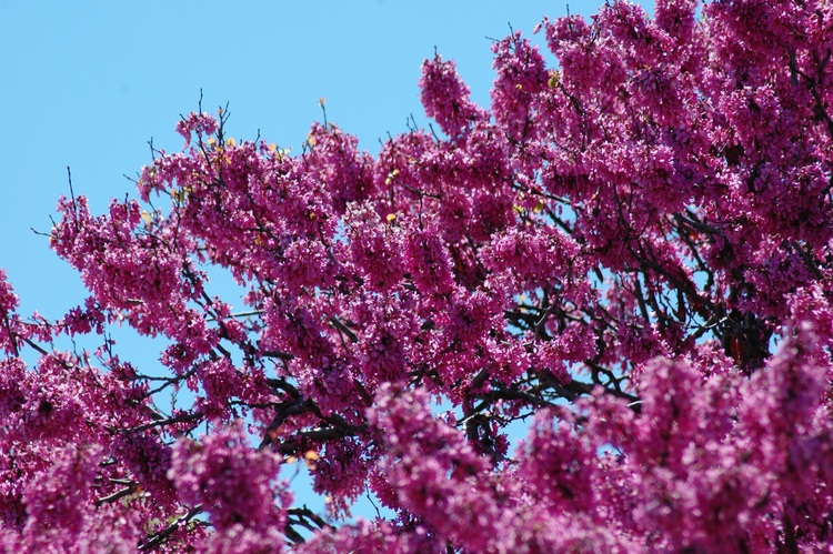 A mauve-flowered tree