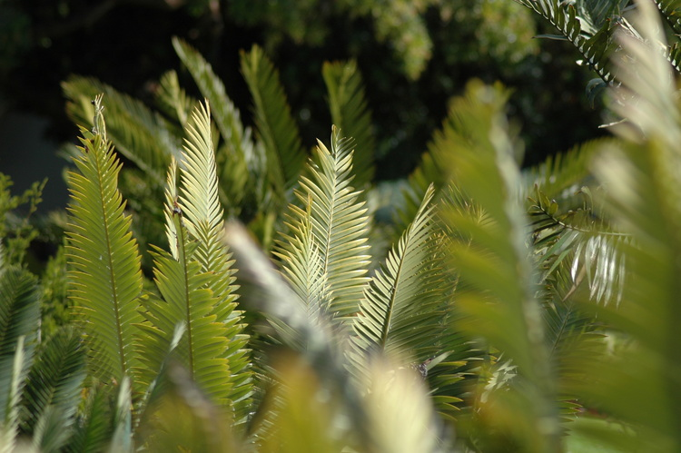 Several planes of Cycad leaves