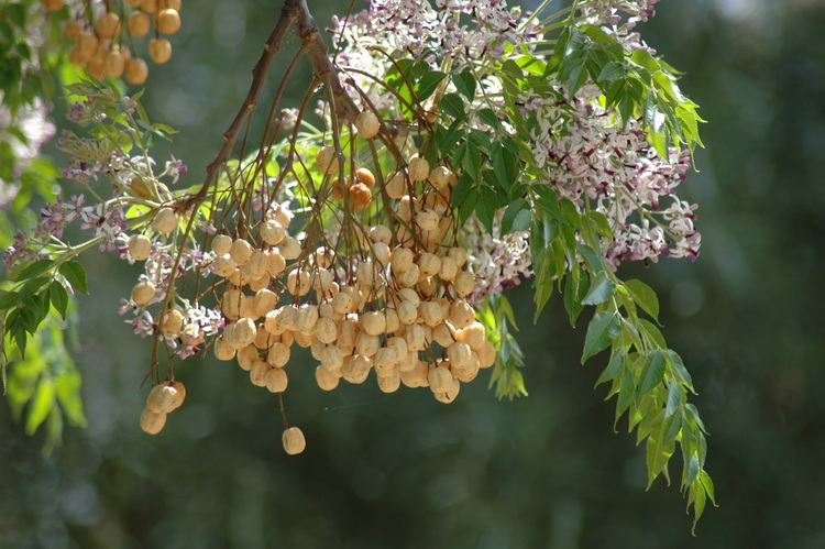 A cluster of seeds hanging on a tree