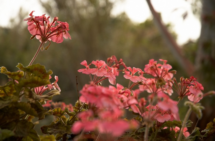 Pink backlit geraniums