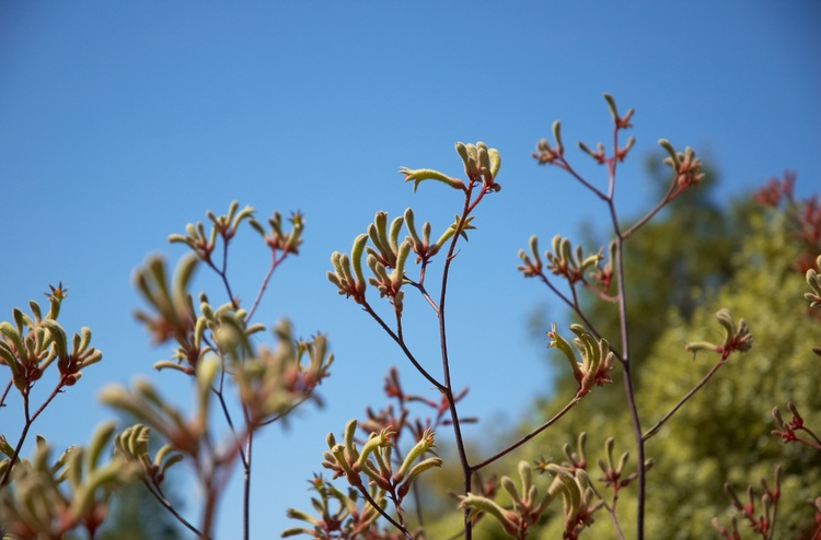 Kangaroo Paw flowers against a blue sky