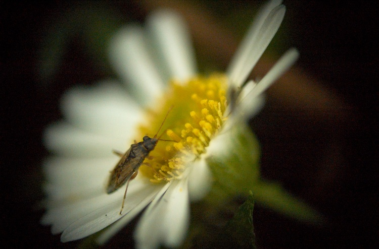 A tiny white and yellow erigeron flower with a small insect on it