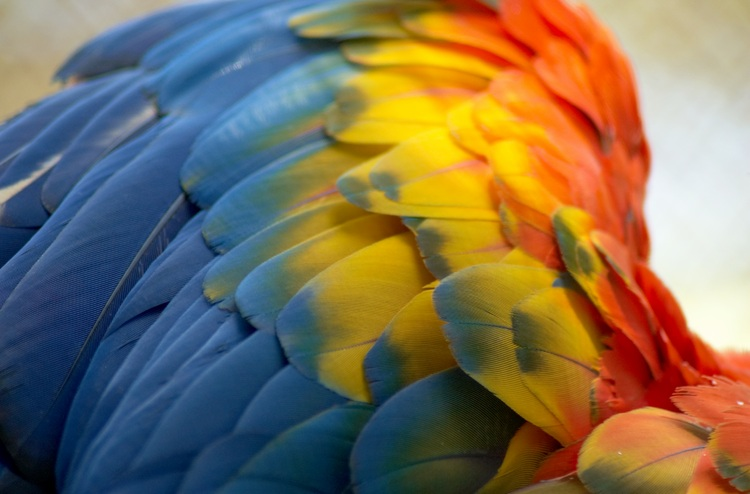 Closeup of a parrot's wing
