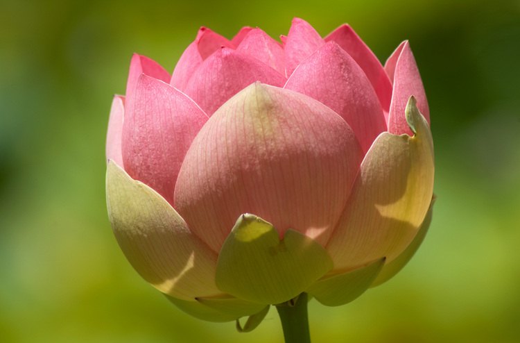 Closeup of a Lotus flower