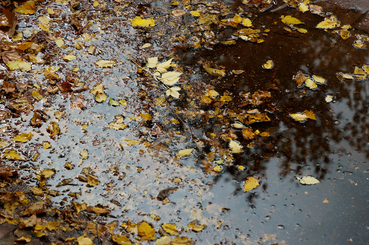Early autumn leaves floating in a puddle