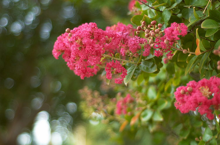 Crepe Myrtle flowers in summer