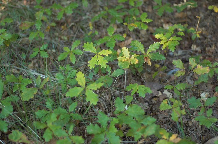 Oak seedlings covering the ground