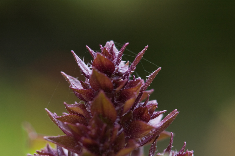 Closeup of the tip of a salvia flower