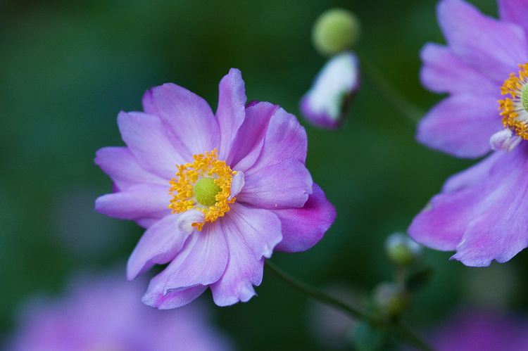 Closeup of pink Japanese Anemone flowers