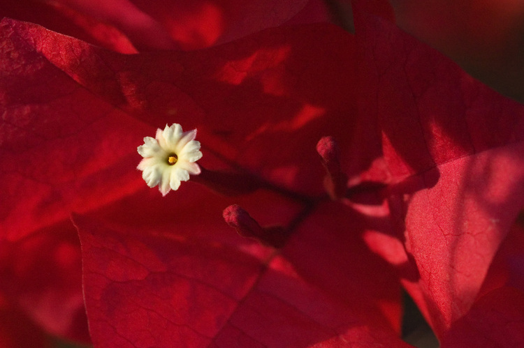 Closeup of a Bougainvillea flower