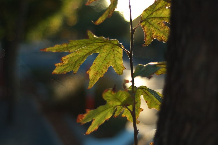 Closeup of Plane tree leaves, backlit by the sun