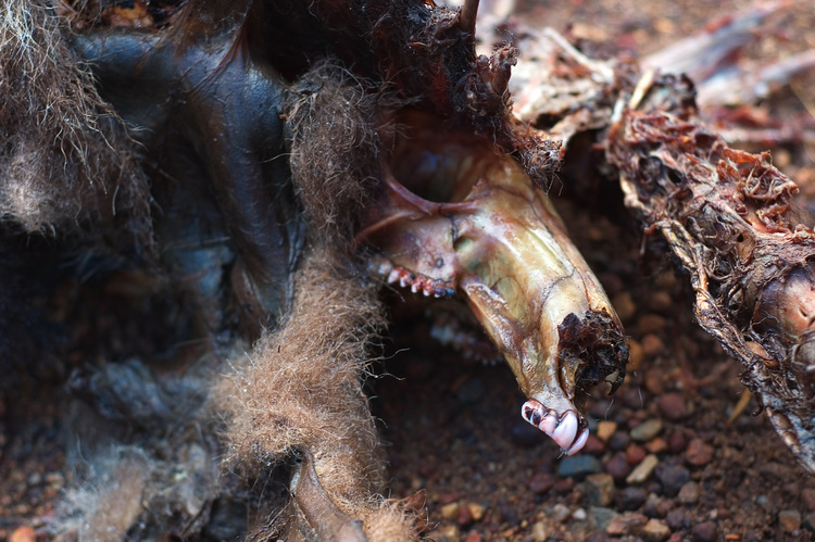 Closeup of the carcass of a kangaroo or wallaby