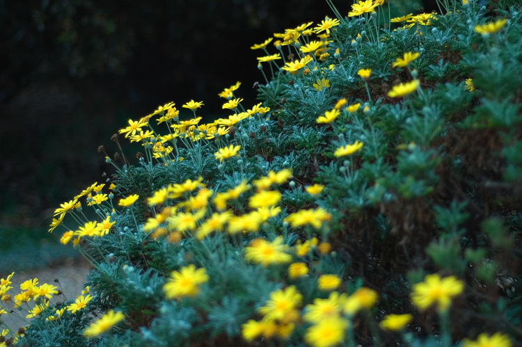 A yellow daisy bush