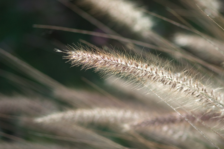 Closeup of fluffy grass seeds