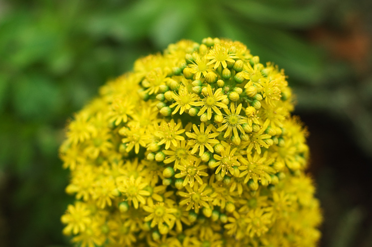 A large head of tiny yellow flowers