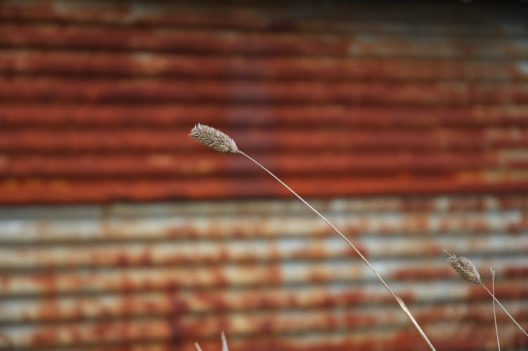 A dried grass seed-head aginst rusty corrugated iron