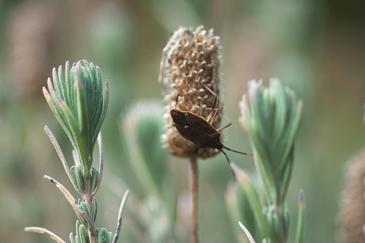 A beetle, sitting on a dried lavender flower