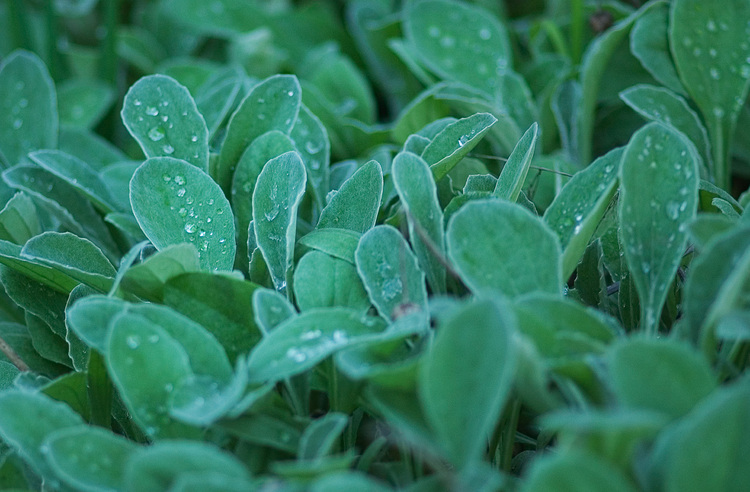 Arctotis leaves with rain drops on them