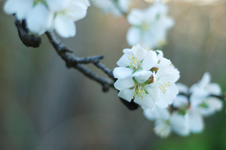 Closeup of an almond blossom