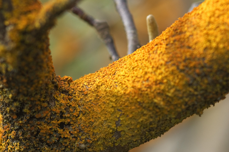 Orangey-yellow Lichen, growing on a branch