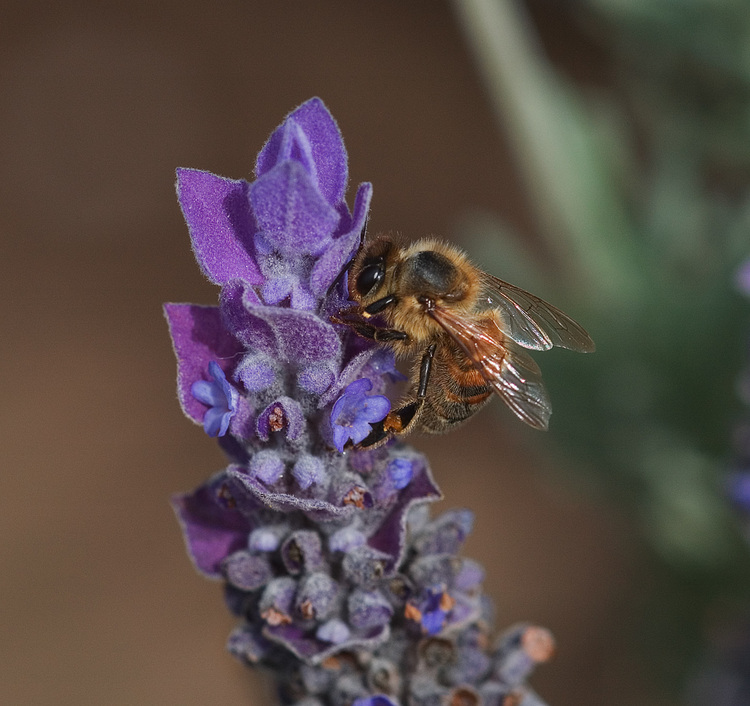 Closeup of a bee gathering pollen from a lavender flower