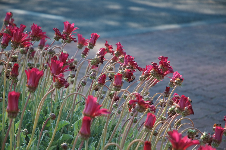 A stand of Arctotis flowers next to a road