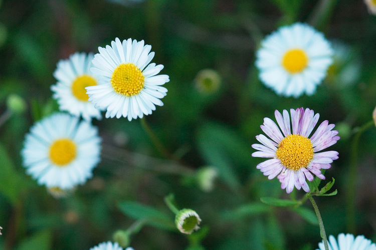 Closeup of Erigeron flowers
