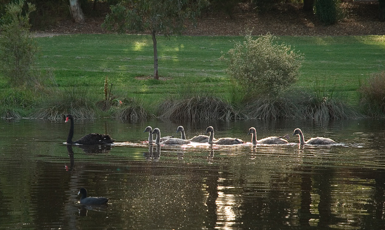 A family of swans on the River Torrens