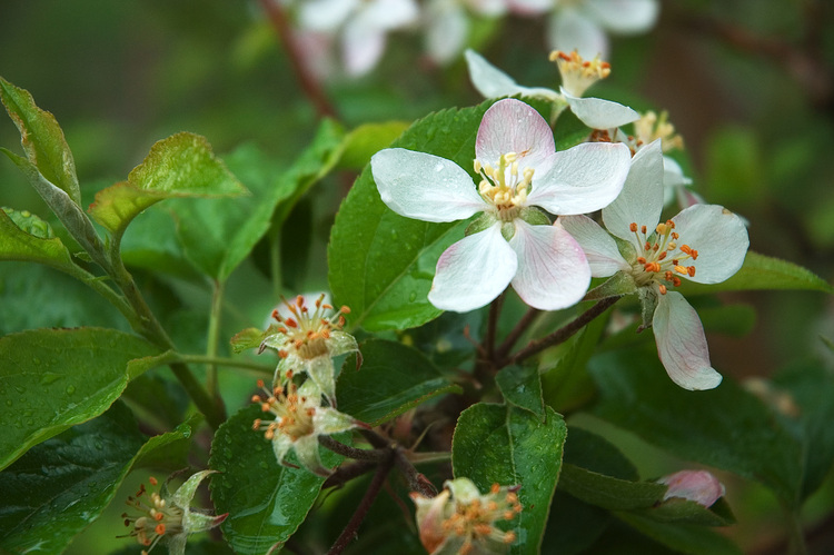 Closeup of apple blossom