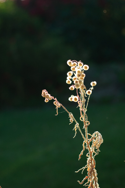 Dried seed heads, backlit by the evening sun