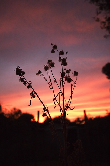 Seed-heads silhouetted against a sunset sky