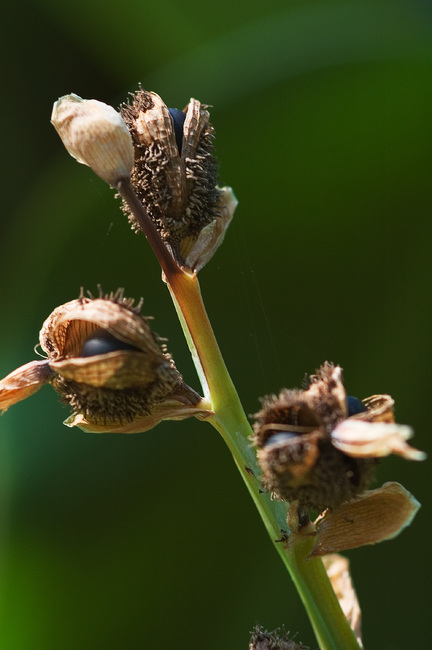 Closeup of canna lily seeds