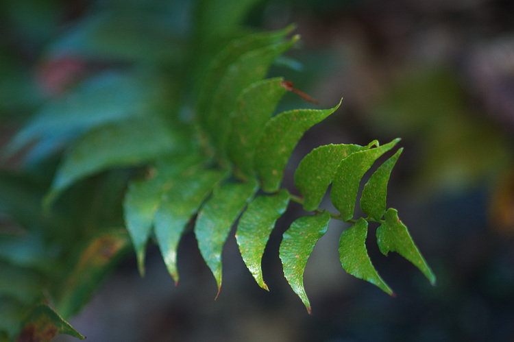 Closeup of a small fern frond