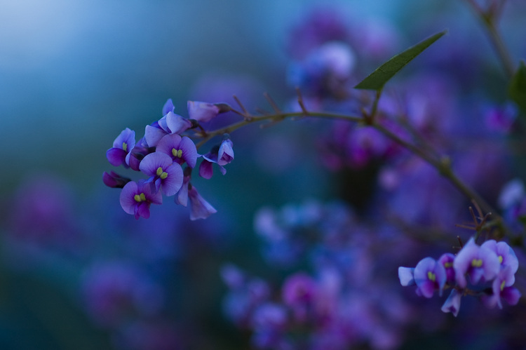 Closeup of Native Lilac flowers in late afternoon light