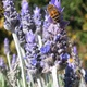 Bees on Lavender flowers
