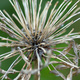 Closeup of a an Agapanthus seed-head