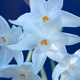 White jonquils against a blue background