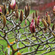 Magnolia buds, and the gnarly branches they grow on