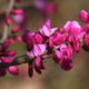 Closeup of Chinese Redbud flowers