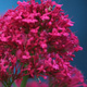 Closeup of Mediterranean Red Valerian flowers