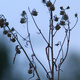 Seedheads silhouetted against a dusk sky