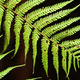 A free fern frond, against a dark background